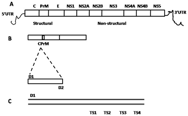 Schematic representation of dengue viral CprM junction amplification by RT-PCR.