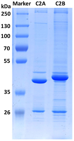 SDS-PAGE images of the proteins interacting with C2 domains.