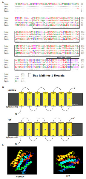Drosophila BI-1 has six TM domains that are evolutionarily conserved.