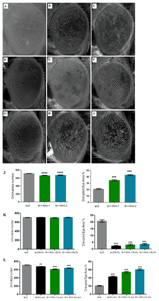 Knockdown of BI-1 in the developing eye results in decreased ommatidia and increased degeneration of the ommatidial array.