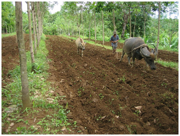 Planting rice and mungbean in an experimental site in Mindanao with three-year-old rubber.
