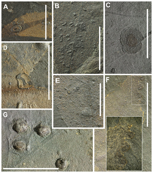 Preservation of leaves and examples of insect galling from Hindon Maar (Miocene, New Zealand).