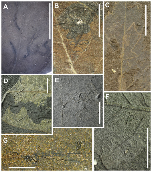 Preservation of leaves and examples of insect mining from Hindon Maar (Miocene, New Zealand).
