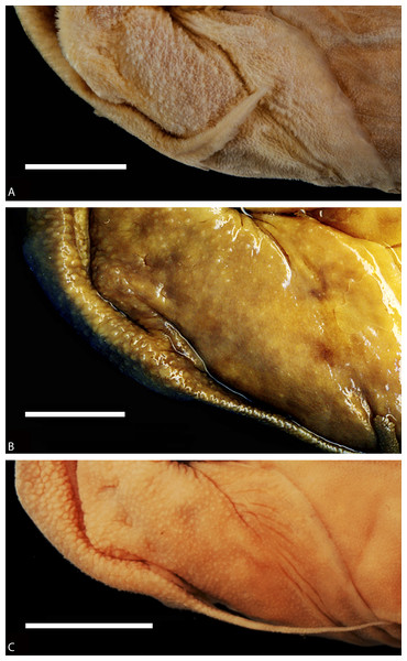 Enlargement of a section of the heads (in ventral views) of diplomystids illustrating the papillae covering the skin of lips, barbels, and gular region.
