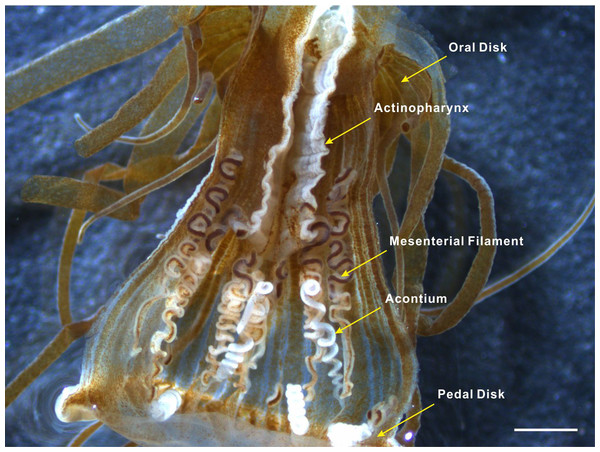 Acontia tissue within the body column of Exaiptasia anemone.