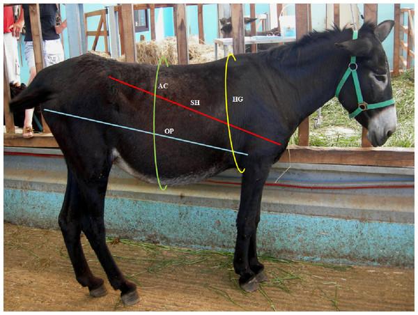 Morphometric measurement of the body.