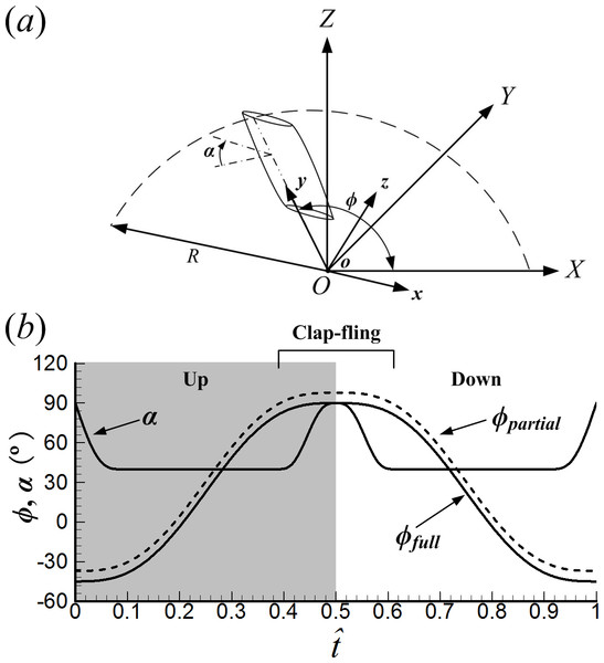 (A) Sketches of the reference frames and wing motion. (B) Time history of positional angle (ϕ) and angle of attack (α) in one cycle (ϕfull represents the positional angle of the full clap-fling motion; ϕpartial represents the positional angle of the partial clap-fling motion).