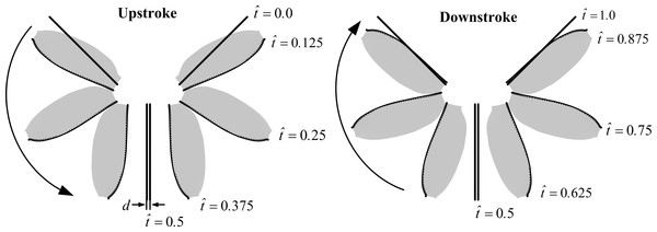 Schematic of the wing pair's motion (3D, top view) for the full clap-fling in a complete stroke cycle.