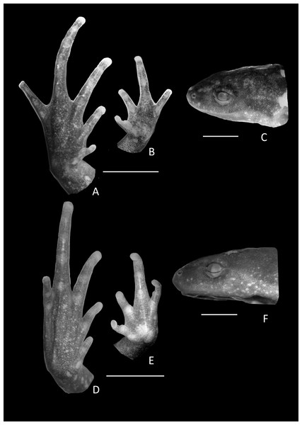 Holotype details of Chiasmocleis veracruz.