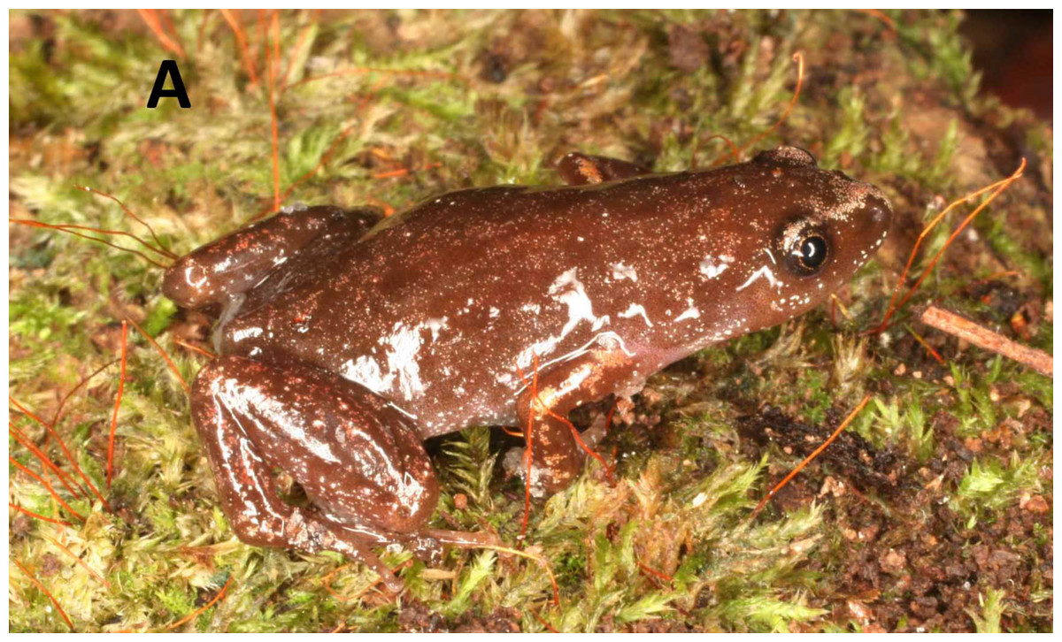 Three new species of humming frogs