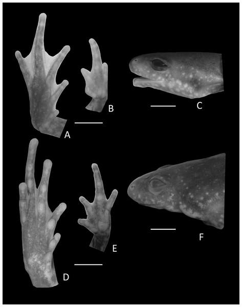 Details of Holotype Chiasmocleis altomontana.