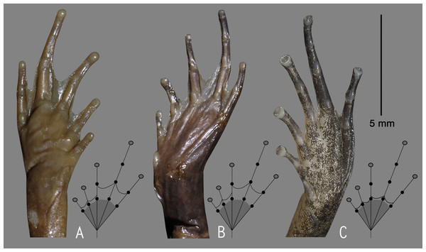 Relative degree of foot webbing in the Lectotype (NHM 1947.2.4.51) of Nyctibatrachus deccanensis (A), Holotype (ZSI/WGFRS/V/A 611) of Nyctibatrachus sholai (=Nyctibatrachus deccanensis) (B), and Holotype (ZSI/WGRC/V/A/933) of Nyctibatrachus webilla sp. nov. (C).
