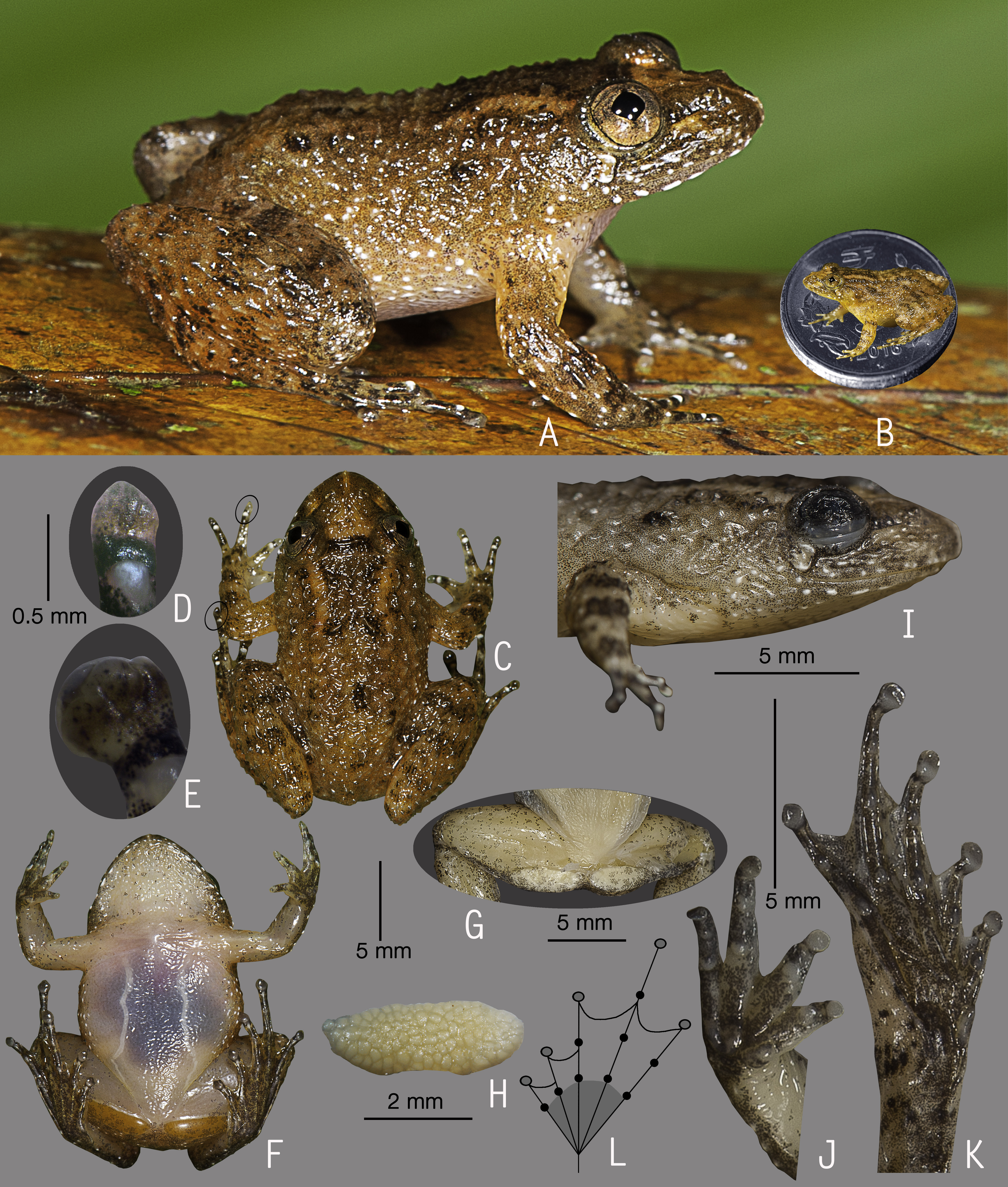 Seven new species of Night Frogs (Anura, Nyctibatrachidae) from the