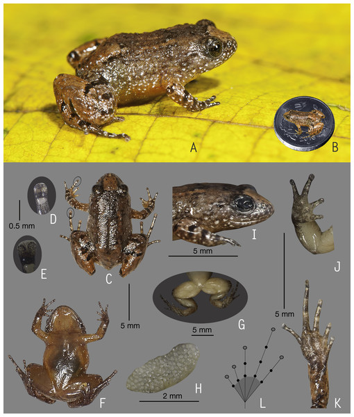 Holotype of Nyctibatrachus manalari sp. nov. (ZSI/WGRC/V/A/897).