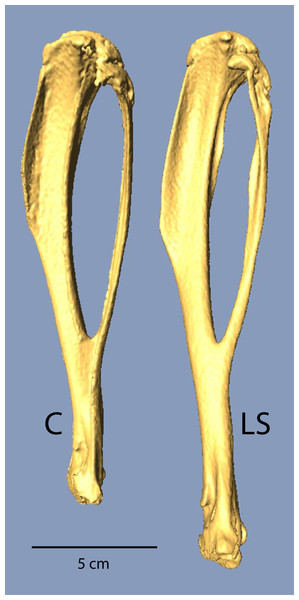 µCT scans of Longshanks and Control tibiae.