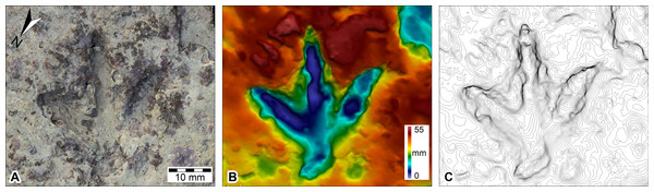 DSM of Megalosauropus broomensis UQL-DP56-4(lp3), Lower Cretaceous (Valanginian–Barremian) Broome Sandstone, Minyirr, Western Australia.