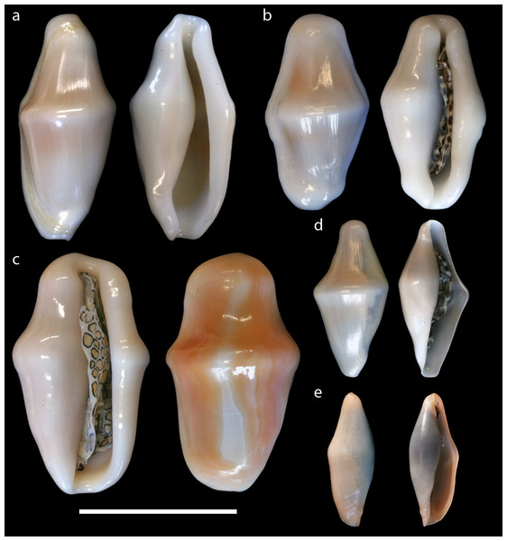 Dorsal and ventral views of Cyphoma shells.