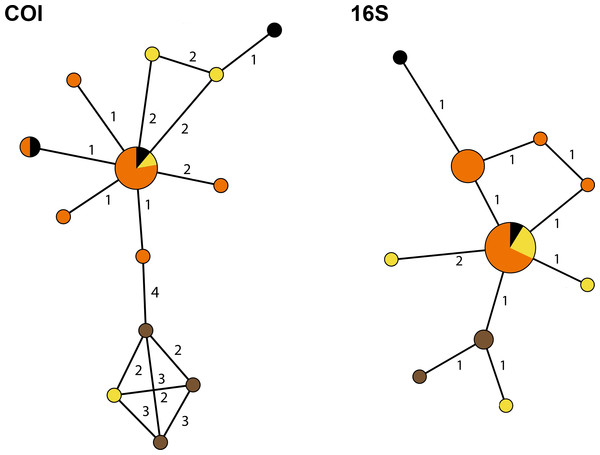 Haplotype networks for the Cyphoma spp.
