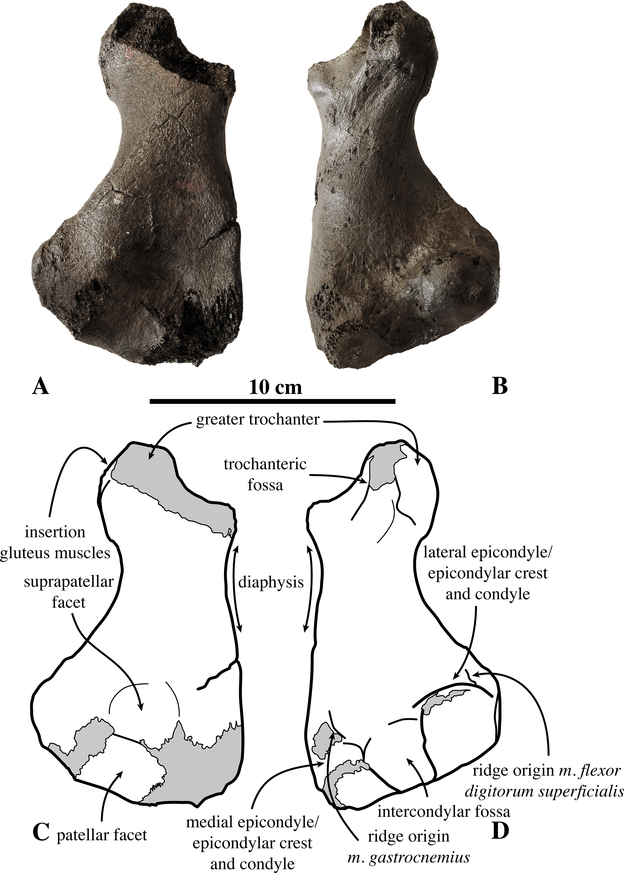 On Prophoca and Leptophoca (Pinnipedia, Phocidae) from the Miocene ...
