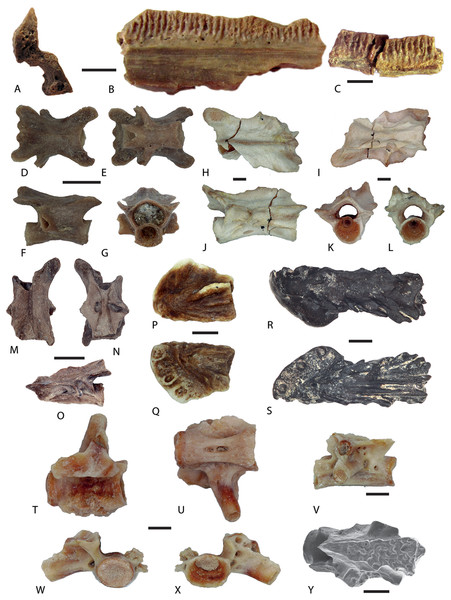 Salamander remains from Western Siberian localities.