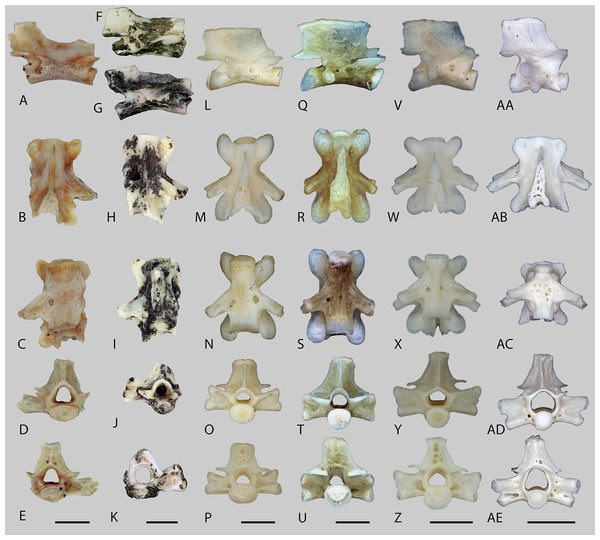 Trunk vertebrae of fossil aff. Tylototriton (A–K) and recent Tylototriton, Echinotriton and Cynops (L–AE).