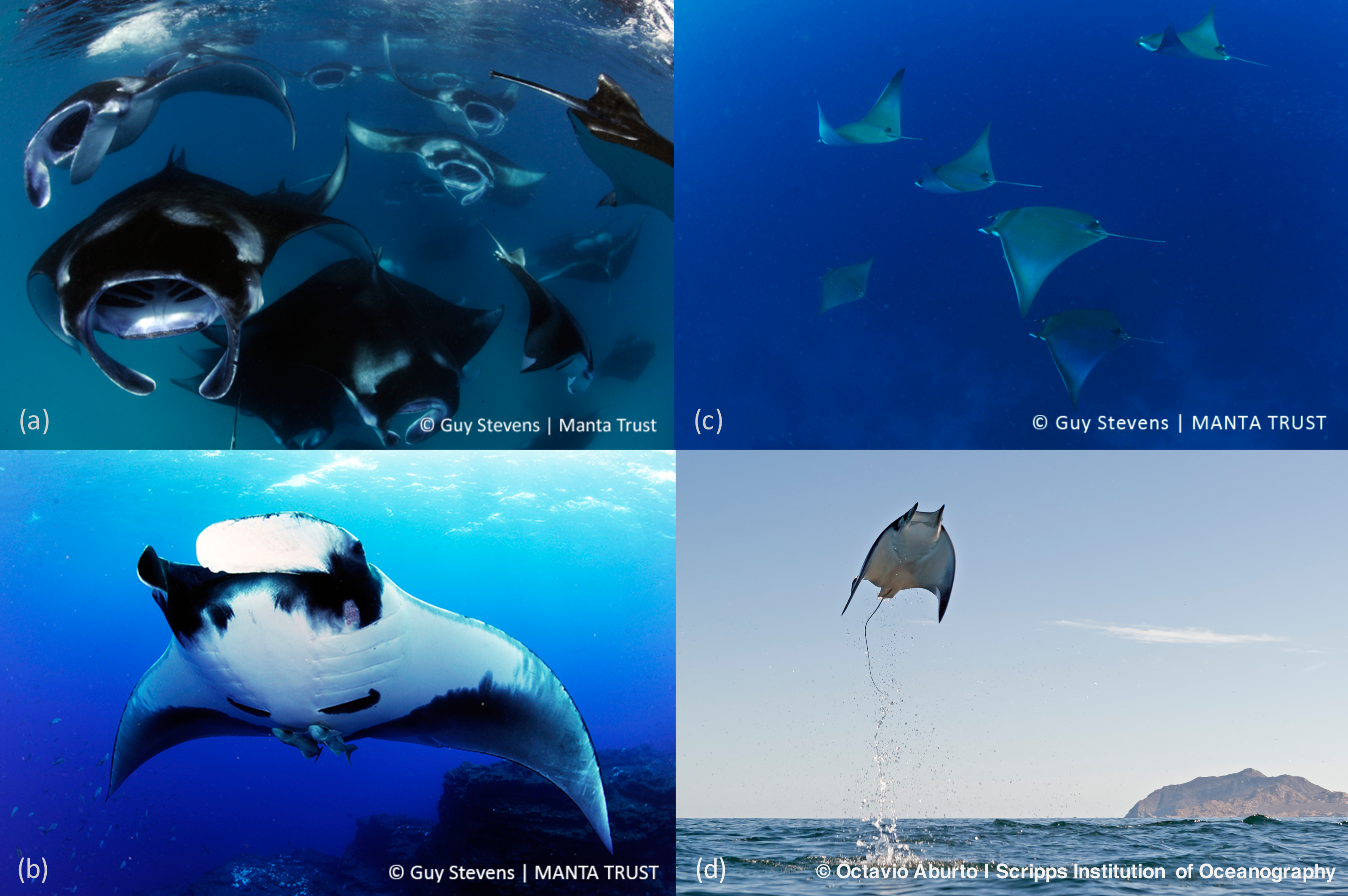 Sympathy for the devil: a conservation strategy for devil and manta ...
