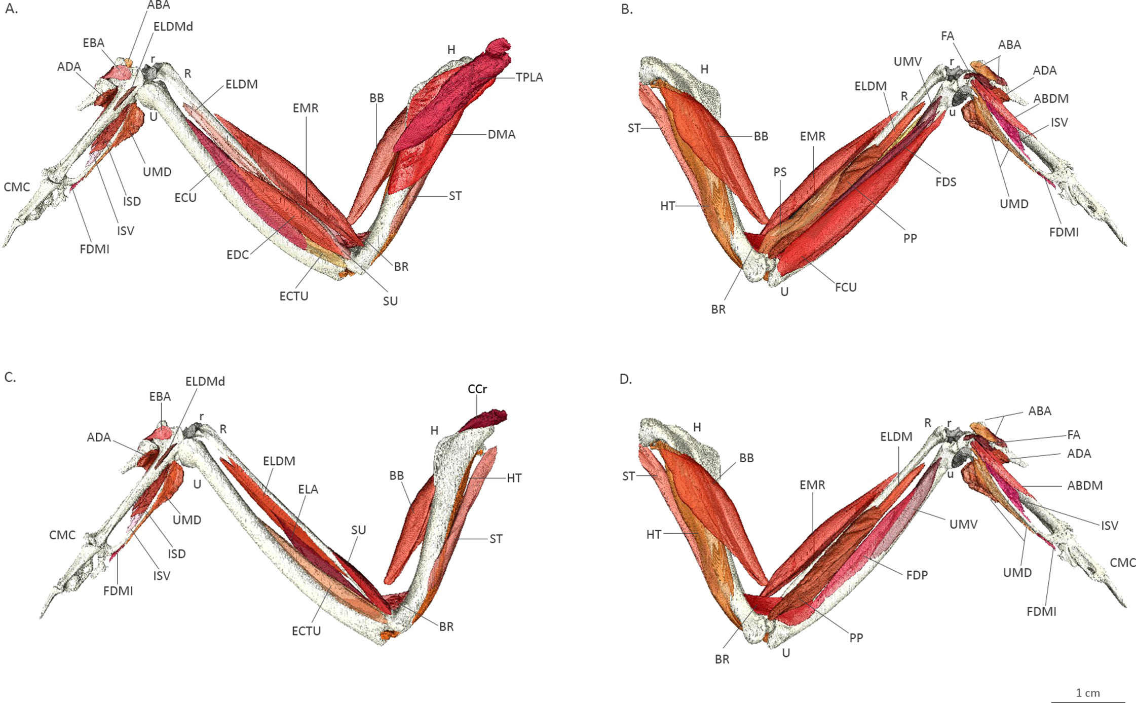 Three-dimensional visualisation of the internal anatomy of the ...
