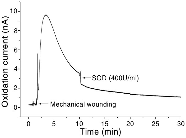 Real-time monitoring of the oxidation current of O2•− during wounding.