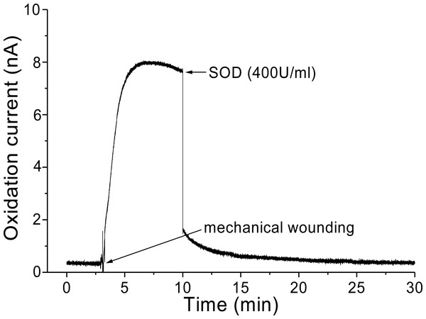 Real-time monitoring of oxidation current for O2•− during wounding.