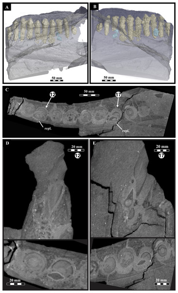 Lesothosaurus diagnosticus, BP/1/7853, left mandible microCT scan data showing dentition.