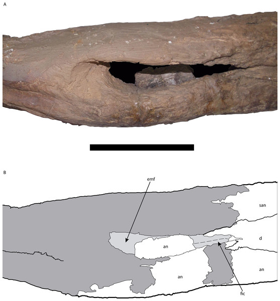Posterior portion of the right mandible of Mourasuchus pattersoni sp. nov. (MCNCPAL- 110-72V, holotype) in lateral view (A) with schematic drawing (B).