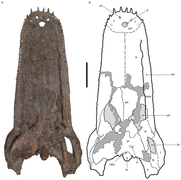 Skull of Mourasuchus pattersoni sp. nov. (MCNC-PAL-110-72V, holotype) in ventral view (A) with schematic drawing (B).