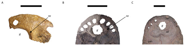 Comparison of the area of the external naris in Mourasuchus in dorsal view, showing the differences of the structures surrounding the incisive foramen.