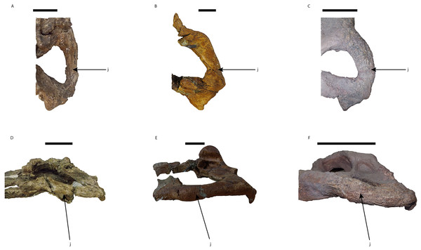 Morphological disparity of the jugals in Mourasuchus.