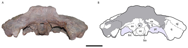 Occipital area of the skull of Mourasuchus pattersoni sp. nov. (MCNC-PAL-110-72V, holotype; (A) with schematic drawing (B).