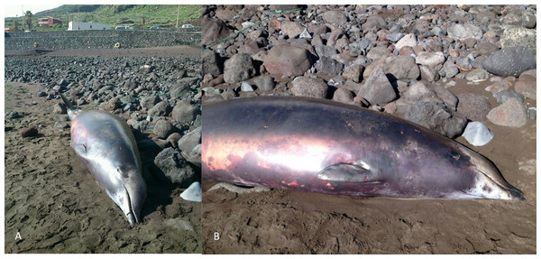 True's beaked whale stranded at El Hierro (Canary Islands) in 2012 showing a head colouration not described previously for this species (report 6 in Table 1).