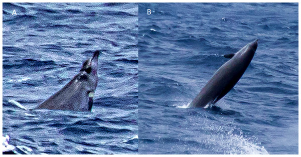 Possible True's beaked whales observed in the Canary Islands (report 11 in Table 1).