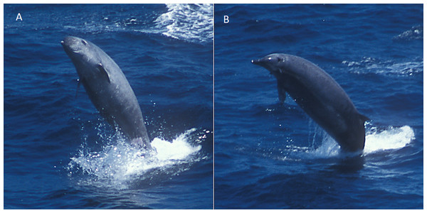 True's beaked whale breaching at the Bay of Biscay.