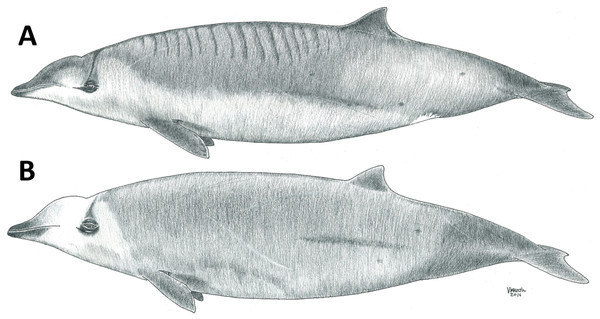 Schematic drawing showing differences between Gervais' (A) and True's (B) beaked whales. Note the more pronounced melon of True's beaked whales and the lines in the dorsum of Gervais' beaked whales.