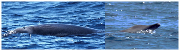 Possible True's beaked whale observed off Pico (report 2 in Table 1).