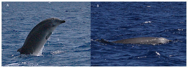 True's beaked whale observed off Pico showing a pale blaze on the melon (report 7 in Table 1).