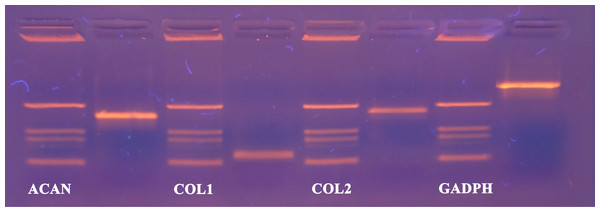 cDNA products of analysed genes (GAPDH, collagen type 1, collagen type 2 and aggrecan) at the end-point of qPCR on agarose gel electrophoresis.