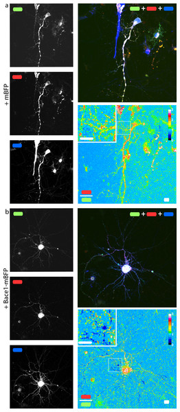 mChAPPmGFP is properly processed in neurons.
