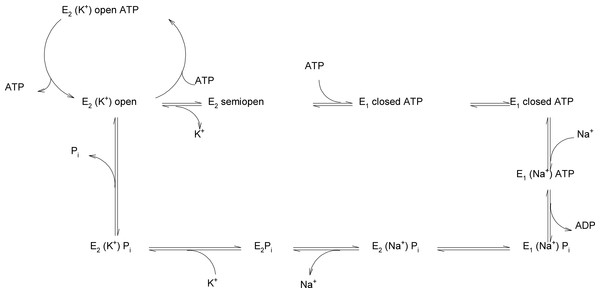 "Reaction scheme of Na+/K+-ATPase explaining the possible functions of the ""open"", ""semi-open"" and ""closed"" conformations of the big cytoplasmic loop within the export of Na+ and import of K+ by the sodium pump."