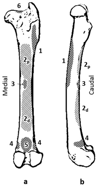 Quokka femur with muscle attachments. (A) caudal view. (B) medial view.