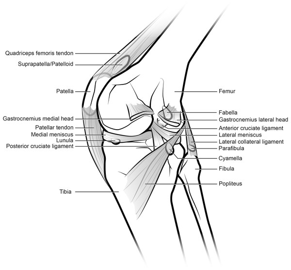 Generalized knee showing sesamoid bones found in various mammals, although possibly no species includes all of these (patella, lunula, cyamella, fabella and parafibula).