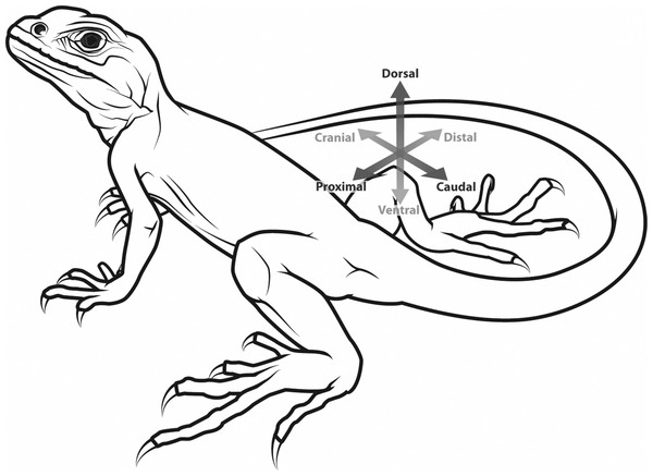 Generalized tetrapod with anatomical/developmental axes defined for the hindlimb: cranial/caudal (towards the head/tail, respectively), proximal/distal (toward/further from the trunk, respectively), dorsal/ventral (towards the back/belly, respectively).