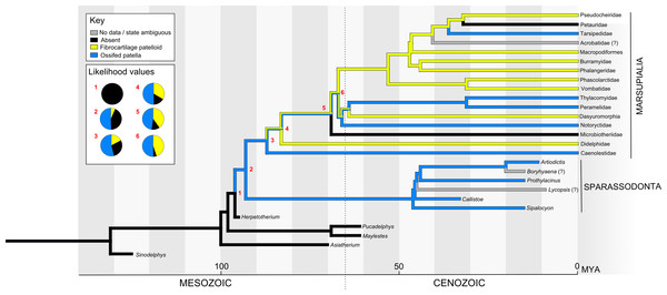 Ancestral state reconstruction of the patella in Metatheria and related taxa.