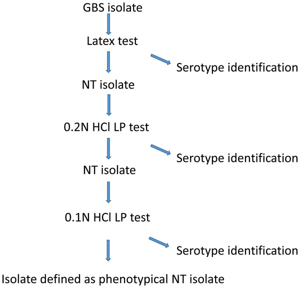 A description of the GBS phenotypical serotype identification procedure at Statens Serum Institut.