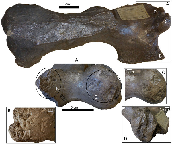 Left humerus Glossotherium robustum, MNHN.F.PAM 119 from MNHN, anterior view, indicating the different marks described in the text.